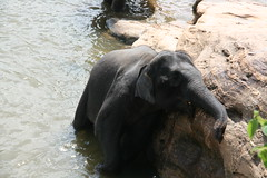 "Pinnawala Elephant Orphanage • <a style=""font-size:0.8em;"" href=""http://www.flickr.com/photos/152010771@N04/37025068265/"" target=""_blank"">View on Flickr</a>"