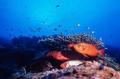 peixe-olho-de-touro - lunar-tailed bigeye (Priacanthus hamrur) e peixe-cirurgião - blackcheek surgeonfish (Acanthurus tristis) (Eden Fontes) Tags: 07m fotosub blackcheeksurgeonfish fantasealiveaboard scubadiving wideanglefotos strobeikelite300 tailândiaemyanmar sealife nikkor20mm priacanthushamrur peixecirurgião tempo46min 130 viewfinder slideasa100200400 ttl 160 profundidademáxima265m visibilidade30m 20mm peixeolhodetouro similanislands magicnumber125250 tailândia slidedigitalizado andamansea island9thehideaway 11051999 acanthurustristis fujifilmra660asa100 nikonnikonosv lunartailedbigeye f568 mergulho
