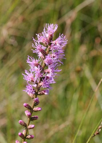 Dense Gayfeather (Liatris spicata)