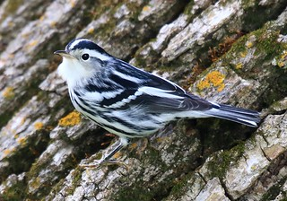 black and white warbler at Vernon Springs IA 854A3574