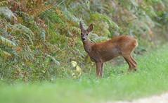 Chevrette (guiguid45) Tags: nature sauvage animaux mammifères forêt loiret forêtdorléans d810 nikon 500mmf4 cervidés chevreuil brocard chevrette roedeer capreoluscapreolus