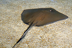 DSC08931 - Touch a Ray (archer10 (Dennis) 107M Views) Tags: ontario sony a6300 ilce6300 18200mm 1650mm mirrorless free freepicture archer10 dennis jarvis dennisgjarvis dennisjarvis iamcanadian novascotia canada ripley's aquarium toronto sting ray