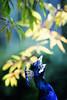 Peacock #2 (rikhard.kuutti) Tags: peacock korkeasaari zoo animal bird radiant bright color green blue white yellow bokeh high contrast afropavo pavo peafowl plumage iridescent animalplanet suomi finnish finland kesä helsinki