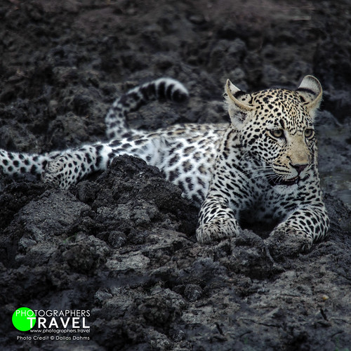 Leopard Cub - Sabi Sabi 2010