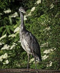The Look (MrBlueSky*) Tags: greyheron heron bird nature outdoor water kewgardens royalbotanicgardens london aficionados pentax pentaxart pentaxlife pentaxk1 pentaxawards pentaxflickraward waterfowl