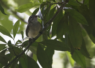 Myiopagis viridicata / Greenish Elaenia
