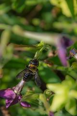 _DSC0385 (johnjmurphyiii) Tags: 06107 bees connecticut elizabethpark garden insect originalnef summer tamron18400 usa westhartford flowers johnjmurphyiii macro