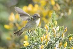 DSC_2428 (P2 New) Tags: 2017 animaux avril bretagne date etangdebazouge france illeetvilaine oiseaux passériformes pays pouillot pouillotvéloce sylvidae hédébazouges