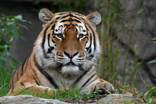 Siberian tiger - Allwetterzoo Munster