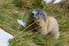 Der Winter kommt. Noch schnell Vorräte anlegen. (cfowallburg) Tags: österreich nationalparkhohentauern murmeltier
