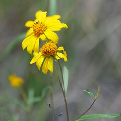 Flower and Spider (Crop 2), Rim Trail Area, Show Low, Arizona (RV Bob) Tags: gimp gx85 flower showlow arizona rimtrail wildflower bokeh