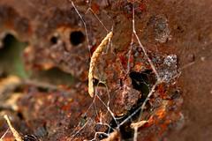 Rusty (AngharadW) Tags: angharadw coniferleaf white cobweb brown monday macro rust macromonday