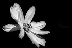 Tu luz (Chaguaceda Fotografias) Tags: 7dwf luz monocromo flores flowers nature naturaleza macro macronature macrobeauty macrocollection macrophotography fotografiamacro