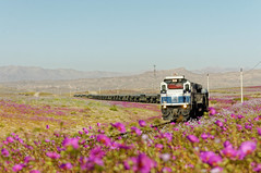 La vida vuelve al Desierto (Guillermo Andre) Tags: desiertodeatacama desiertoflorido ferronor treneschilenos gt46ac