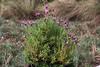 una hermosa mata de cantueso (M. Martin Vicente) Tags: cantueso flores mata