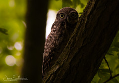 You Can't See Me (JDS-photo) Tags: littleowl athenenoctua owl wildowl owlet hidding bird birdofprey branching canoneos80d lightroom canonef400mmf56lusm