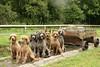 2S2A5335 (itzapromisepoodles) Tags: itzapromise itzapromisepoodles apricotpoodle apricotstandardpoodle apricotpoodles standardpoodle silverpoodle spoo silverstandardpoodle stdpoodle silverpoodles redstandardpoodle redpoodle poodles phantompoodle phantomstandardpoodle poodle gsd germanshepherddog