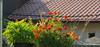 Jul 21: Summer Flowers on Roof (johan.pipet) Tags: flickr garden záhrada flowers kvety macro detail sunny summer village devin devín house dom bratislava slovakia slovensko eu europe palo bartos bartoš canon