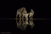 Mirror mirror.. (hvhe1) Tags: kafferbuffel synceruscaffer afrikaansebuffel wildlife nature animal mammal zimanga privategamereserve safari gamedrive buffledafrique bufflenoirdessavanes africanbuffalo capebuffalo overnighthide waterhole night dark reflection africa southafrica hvhe1 hennievanheerden black monochrome kaffernbüffel schwarzbüffel afrikanischerbüffel steppenbüffel specanimal