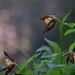 Cypripedium calceolus (Sabot de Vénus) (aymericbrissaud) Tags: végétauxorchidéescypripediumcalceolus