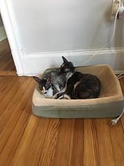Cassius & Lizzie in Bed (Boska) Tags: cornishrex rescuecat