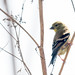 DSC_3506.jpg American Goldfinch, Wilder Ranch