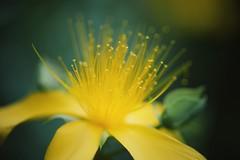 glowing dots (christian mu) Tags: flowers nature summer bokeh germany muenster münster botanicalgarden botanischergarten schlossgarten sonya7ii sony christianmu 9028g 90mm 9028 macro
