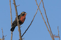 Loica chica - Pecho colorado (ordiazcaligaris) Tags: aves loica