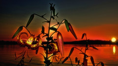 Lily @ Sunset (Bob's Digital Eye) Tags: 2017 abstract backlit bobsdigitaleye canon fillinflash flicker flickr flower lake lakesunsets plant silhouette t3i water efs24mmf28stm softfocus