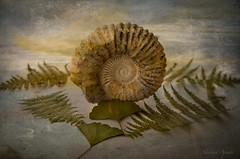 8 agosto 2017. Le Origini. Composizione con Ammonite, felci e ginkgo biloba, dedicata a mia madre Armida, andata via per sempre il 4 agosto 2009. Dedicated to my mother Armida who has gone away forever (adrianaaprati) Tags: fern ginkgobiloba leaf leaves fossil ammonite beginning mother composition stilllife