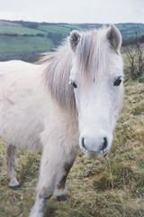 Dartmoor pony 1 (avenwildsmith) Tags: film 35mm nature devon countryside landscape analog analogue kodak retinette 1b grain england britain wild wilderness pony animal portrait fauna moor moors moorland dartmoor white kodakretinette1b 35mmfilm closeup