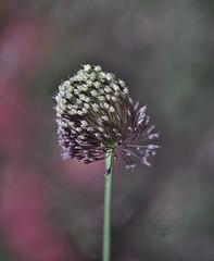 Elephant garlic (Allium ampeloprasum) (Zara Calista) Tags: macto flora flower plant bokeh depthoffield dof light allium forelock nikon d750 tamron 180mm