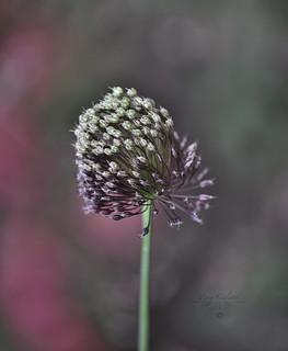 Elephant garlic (Allium ampeloprasum)