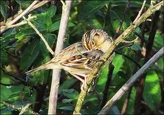© 2014 Russ Martens Birdingtogether all rights reserved. Florida Grasshopper Sparrow, STA 1-East, Palm Beach County,  FL