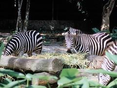1994_Singapore_2016-07-18_Photo_183 (Matthias & Paula) Tags: singapore sentosa kuala lumpur malaysia cameron highlands zoo japanese gardens