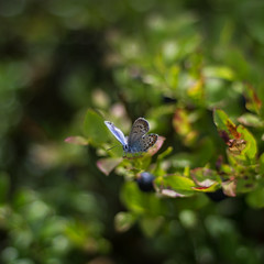 common blue and berry blue (Stefano Rugolo) Tags: stefanorugolo pentax k5 smcpentaxm50mmf17 commonblue polyommatusicarus hälsingland sweden summer bokeh butterfly blueberry squarefomat