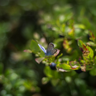 common blue and berry blue