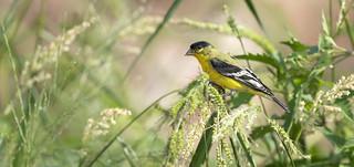 Adult male Lesser Goldfinch -D800-8-6-17DSC_3962_27597