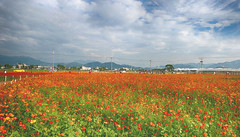 新社的波斯菊 Sinshe District Cosmos (葉 正道 Ben(busy)) Tags: cosmos 台中 taichung 台灣 taiwan landscape 風景 自然 nature 新社 波斯菊 sinsheˍdistrict flowers