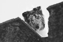 Lulo. (Gerardo Nava Fotografía) Tags: sony alpha sonyflickraward sonyalpha sonyméxico sonya77ii sonyalphamexico sonnart18135za sonnart18135 sal135f18z zeiss zeisslens sonyzeiss dog doggie doggy perro collie bokeh