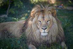 le roi des décoiffés (rondoudou87) Tags: pentax k1 parc zoo reynou lion roi king smcpda300mmf40edifsdm sauvage wildlife wild portrait nature natur