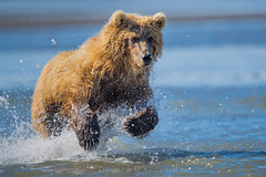 """Charges and Costs  3I3167 (Dr DAD (Daniel A D'Auria MD)) Tags: """"brownbears"""" """"brownbearcubs"""" """"bears"""" cubs nature wildlife mammals predators """"livingwithbears"""" grizzly grizzlies """"coastalbrownbears"""" alaska """"lakeclarknationalpark"""" """"danielad'auriamd"""" """"drdadbooks"""" """"children'swildlifebooksbydanielad'auriamd"""" """"july2017"""""""
