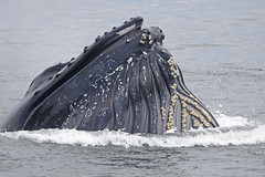 Humpback Whale (Donna Pomeroy) Tags: humpback whale monterey bay