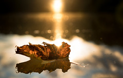 September (--Conrad-N--) Tags: leaves leaf autumn reflection light shadow blatt lake dry water sony a7rm2 za yellow one single smile saturday