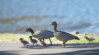 Duck family ashore