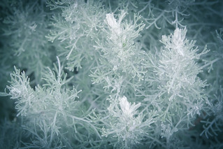 Icy flowers of summer
