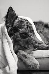 31/52 Weeks of Finn (Raquel Robison) Tags: 52weeksfordogs 52weekoffinn finn dogs texasheeler bath monochrome dog