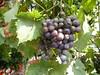 Plenty of grapes (seikinsou) Tags: brussels belgium bruxelles belgique autumn caruso italian restaurant lunch