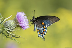 Butterfly 2017-124 (michaelramsdell1967) Tags: yellow beauty spring nature macro flower bokeh beautiful butterfly animal pretty green insect black vivid insects zen blossom vibrant bug meadow bugs flowering lavender blooming swallowtail wildflower morpho anmials butterflies