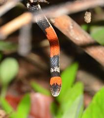 Cobra Coral Falsa (Oxyrhopus trigeminus)